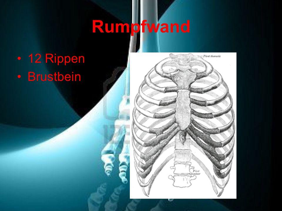 Rumpfwand 12 Rippen Brustbein