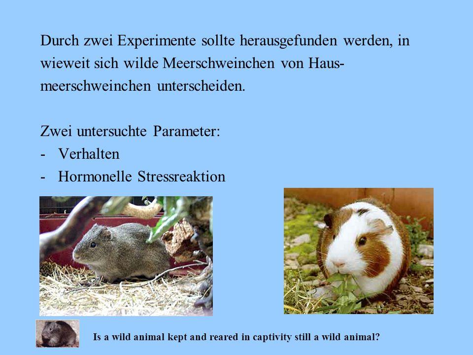 Durch zwei Experimente sollte herausgefunden werden, in wieweit sich wilde Meerschweinchen von Haus- meerschweinchen unterscheiden. Zwei untersuchte P