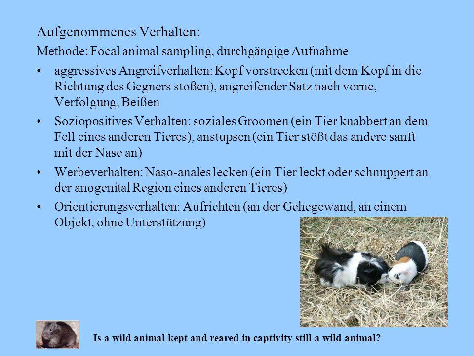 Aufgenommenes Verhalten: Methode: Focal animal sampling, durchgängige Aufnahme aggressives Angreifverhalten: Kopf vorstrecken (mit dem Kopf in die Ric