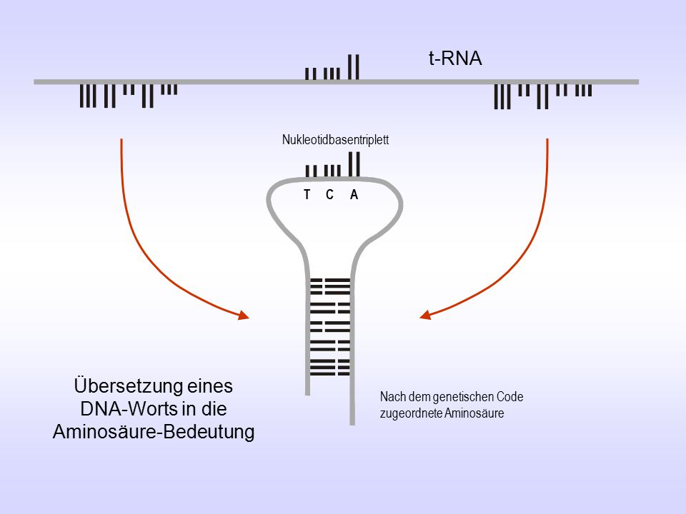 Ser Übersetzung eines DNA-Worts in die Aminosäure-Bedeutung Nukleotidbasentriplett Nach dem genetischen Code zugeordnete Aminosäure TCA t-RNA