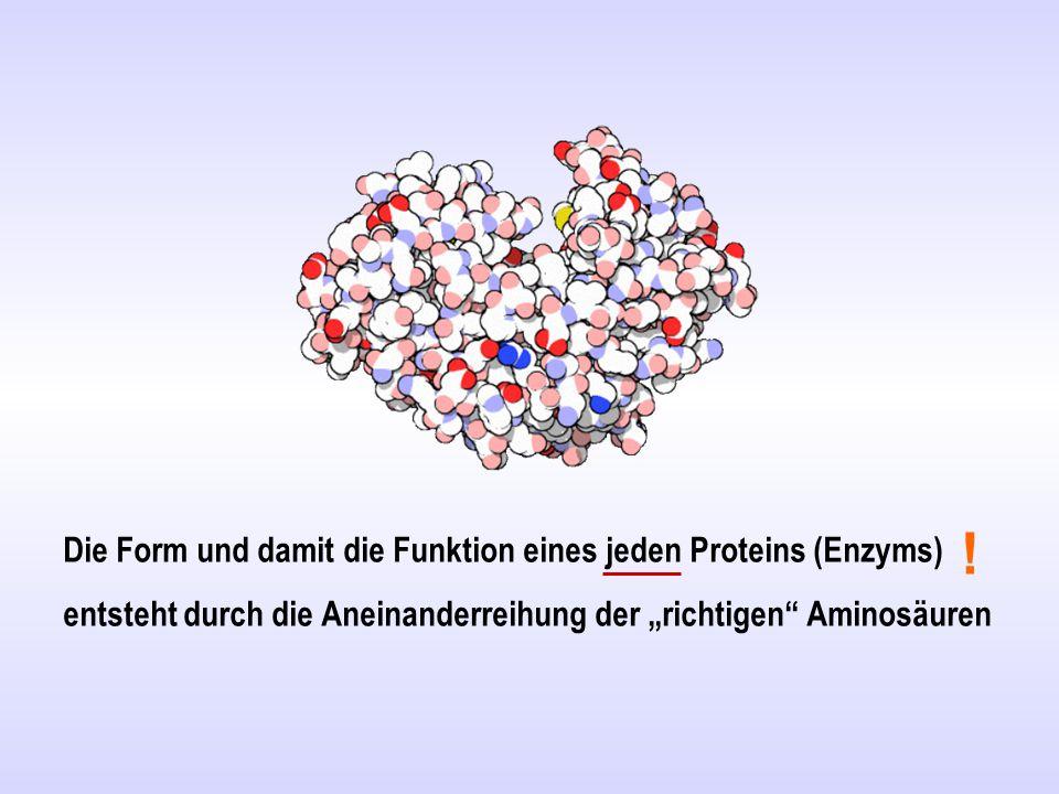 """Die Form und damit die Funktion eines jeden Proteins (Enzyms) entsteht durch die Aneinanderreihung der """"richtigen"""" Aminosäuren !"""