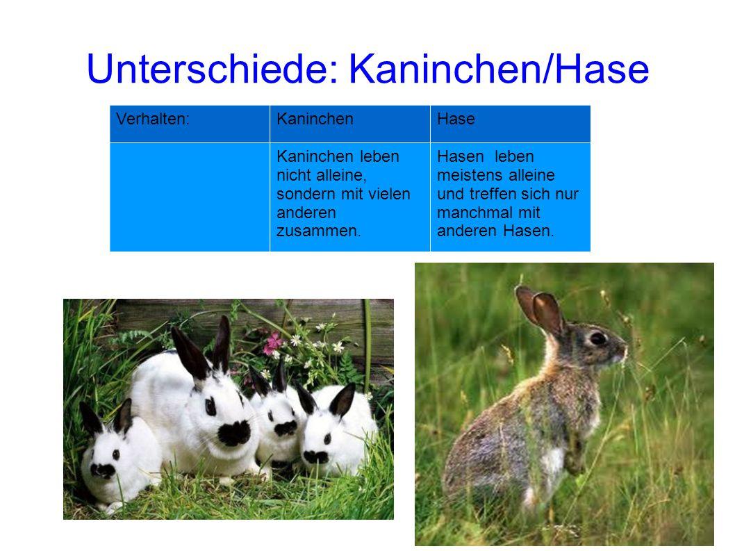 Verhalten:KaninchenHase Kaninchen leben nicht alleine, sondern mit vielen anderen zusammen. Hasen leben meistens alleine und treffen sich nur manchmal