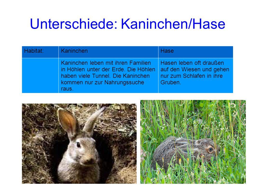 Habitat:KaninchenHase Kaninchen leben mit ihren Familien in Höhlen unter der Erde. Die Höhlen haben viele Tunnel. Die Kaninchen kommen nur zur Nahrung