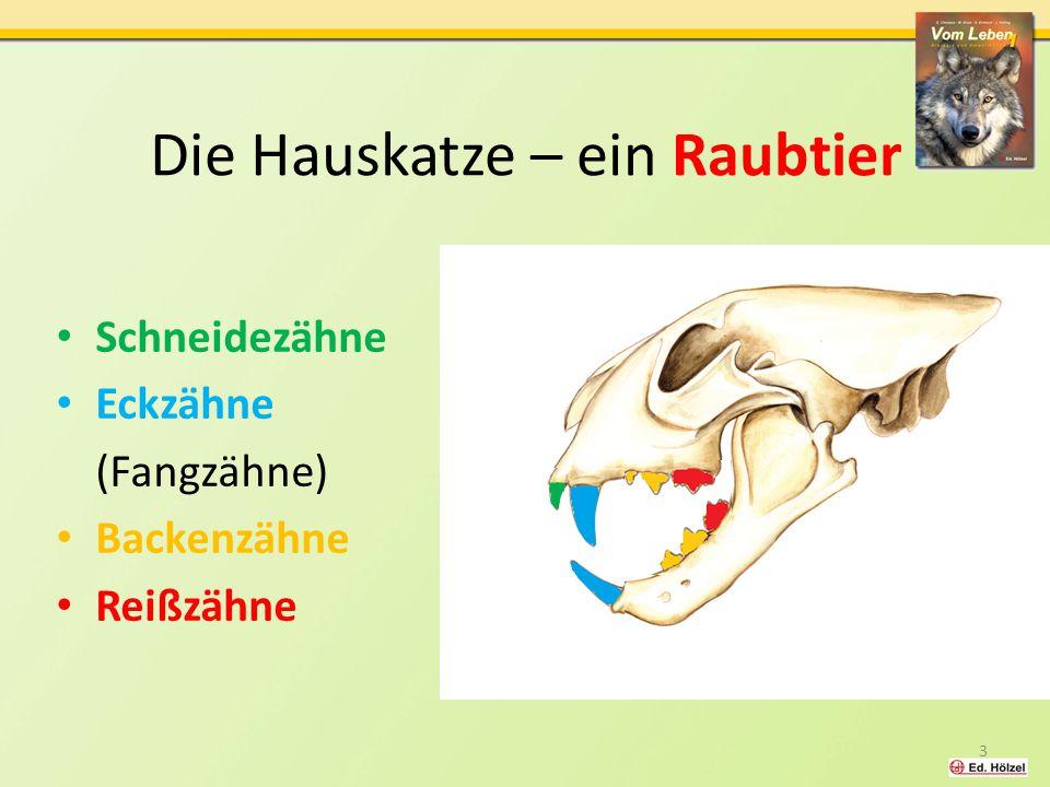 Die Hauskatze – ein Raubtier Schneidezähne Eckzähne (Fangzähne) Backenzähne Reißzähne 3