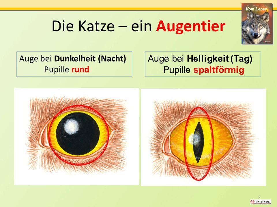 Die Katze – ein Augentier Auge bei Dunkelheit (Nacht) Pupille rund 5 Auge bei Helligkeit (Tag) Pupille spaltförmig