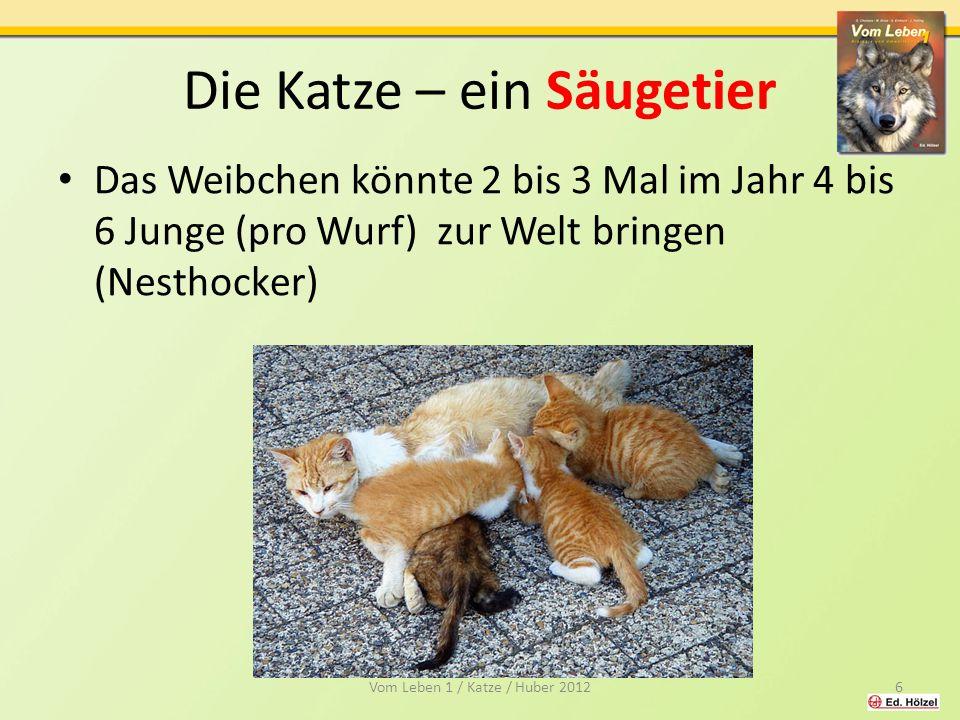 Die Katze – ein Säugetier Das Weibchen könnte 2 bis 3 Mal im Jahr 4 bis 6 Junge (pro Wurf) zur Welt bringen (Nesthocker) 6Vom Leben 1 / Katze / Huber 2012