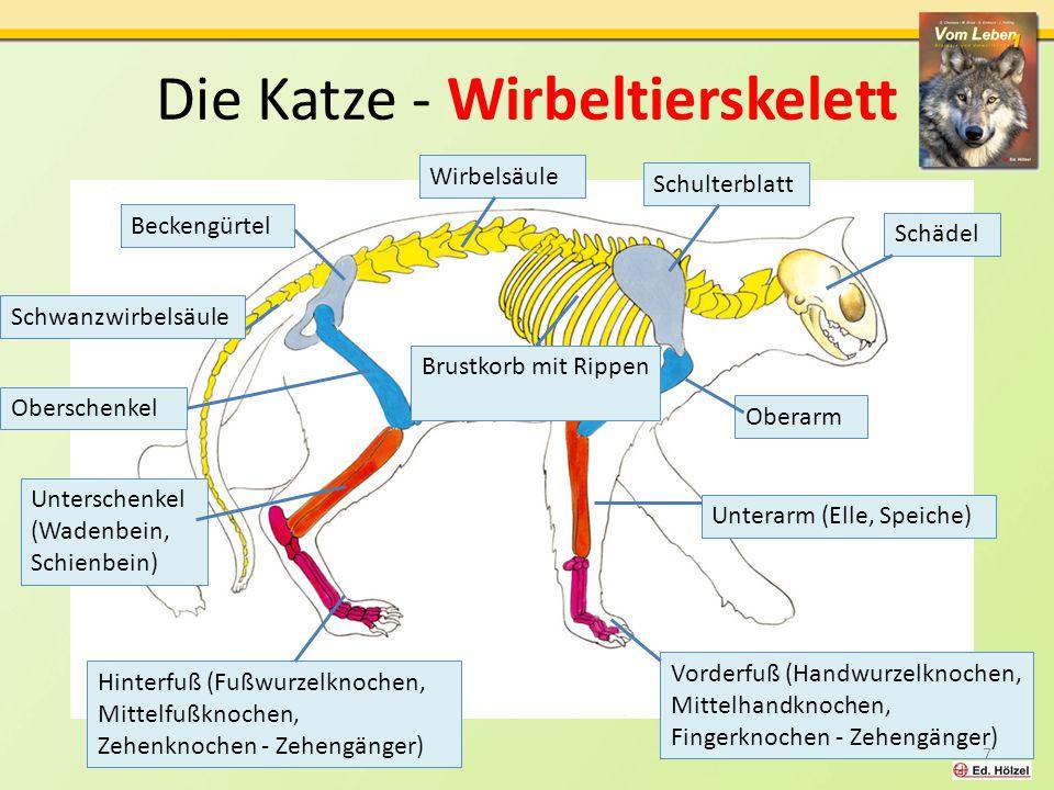 Die Katze - Wirbeltierskelett Schädel Beckengürtel Hinterfuß (Fußwurzelknochen, Mittelfußknochen, Zehenknochen - Zehengänger) Unterschenkel (Wadenbein