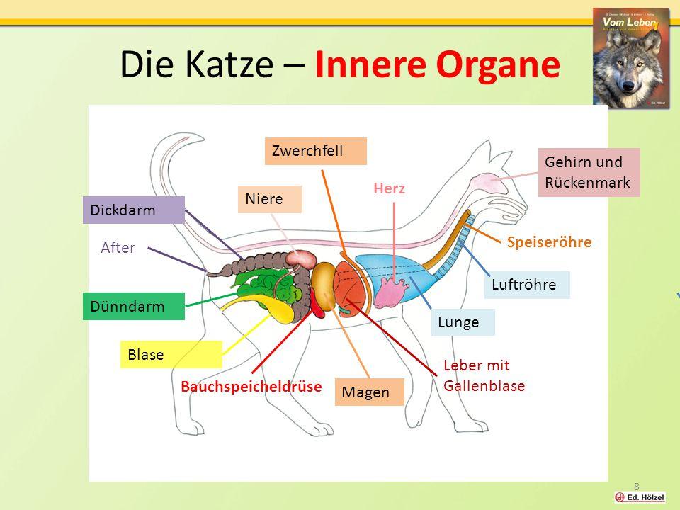 Die Katze – Innere Organe Zwerchfell Herz Niere Dickdarm After Blase Bauchspeicheldrüse Magen Leber mit Gallenblase Gehirn und Rückenmark Speiseröhre