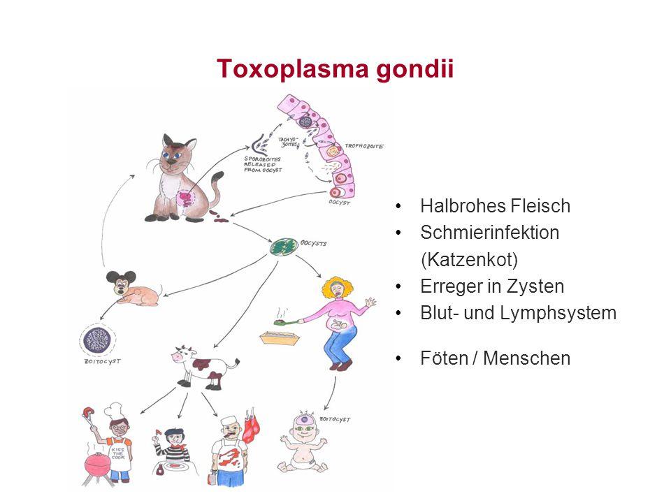 Toxoplasma gondii Halbrohes Fleisch Schmierinfektion (Katzenkot) Erreger in Zysten Blut- und Lymphsystem Föten / Menschen