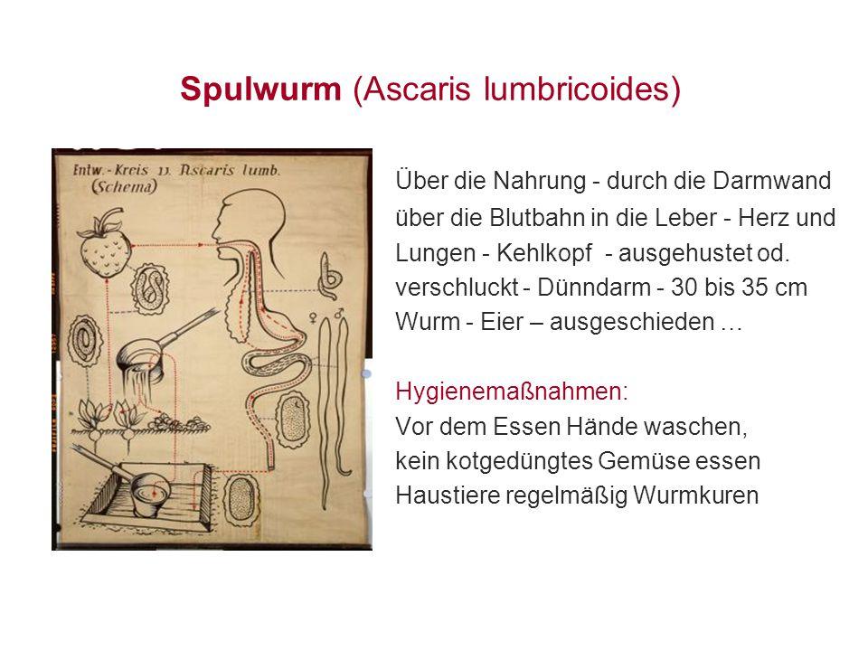 Spulwurm (Ascaris lumbricoides) Über die Nahrung - durch die Darmwand über die Blutbahn in die Leber - Herz und Lungen - Kehlkopf - ausgehustet od. ve