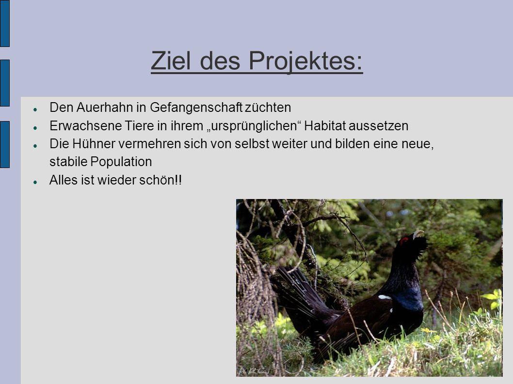 """Ziel des Projektes: Den Auerhahn in Gefangenschaft züchten Erwachsene Tiere in ihrem """"ursprünglichen"""" Habitat aussetzen Die Hühner vermehren sich von"""