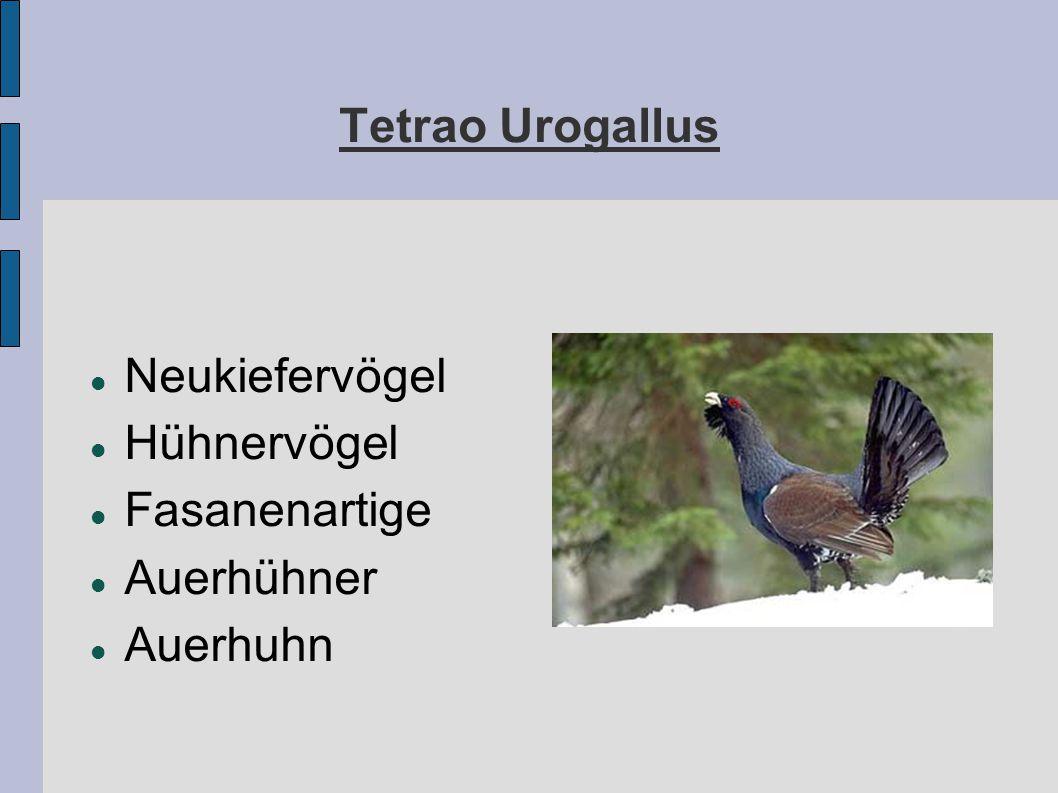 Tetrao Urogallus Neukiefervögel Hühnervögel Fasanenartige Auerhühner Auerhuhn