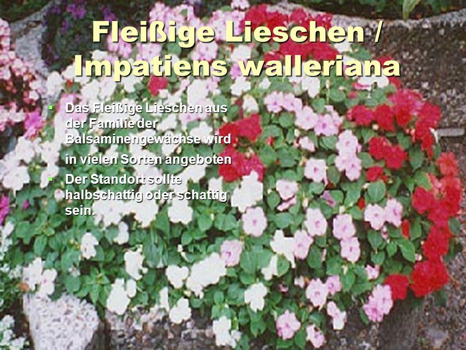 Fleißige Lieschen / Impatiens walleriana  Das Fleißige Lieschen aus der Familie der Balsaminengewächse wird in vielen Sorten angeboten  Der Standort