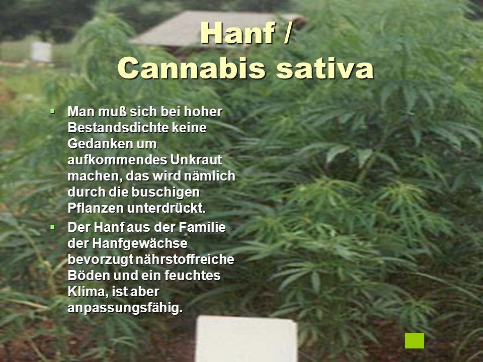 Hanf / Cannabis sativa  Man muß sich bei hoher Bestandsdichte keine Gedanken um aufkommendes Unkraut machen, das wird nämlich durch die buschigen Pfl