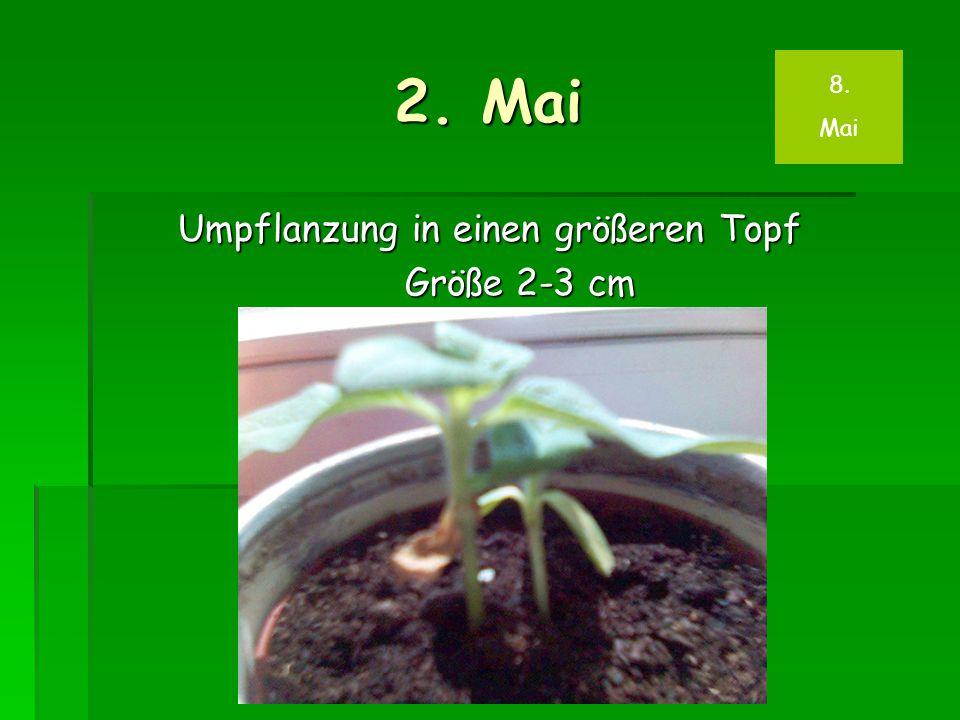 2. Mai Umpflanzung in einen größeren Topf Größe 2-3 cm 8. Mai