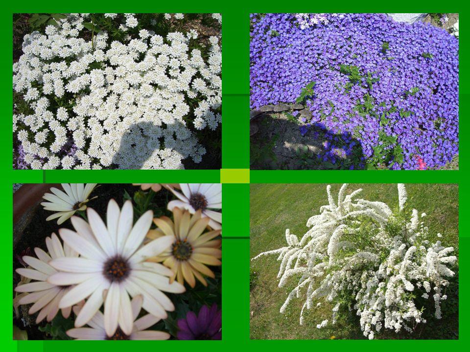 Argentinische Verbene / Verbena bonariensis  Diese Art des Eisenkrautes untescheidet sich besonders was die Pflanzenverwendung betrifft sehr von anderen Verbenenarten.