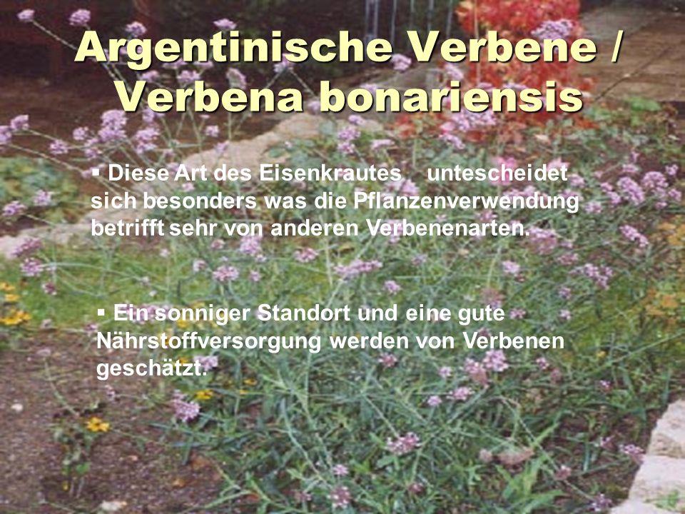 Argentinische Verbene / Verbena bonariensis  Diese Art des Eisenkrautes untescheidet sich besonders was die Pflanzenverwendung betrifft sehr von ande