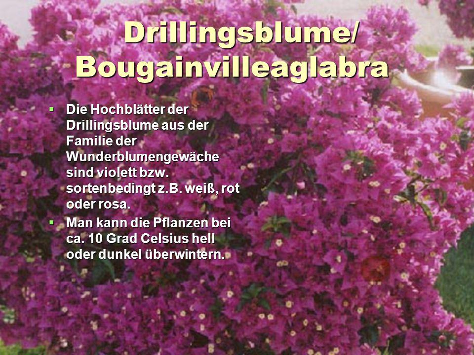 Drillingsblume/ Bougainvilleaglabra Drillingsblume/ Bougainvilleaglabra  Die Hochblätter der Drillingsblume aus der Familie der Wunderblumengewäche s