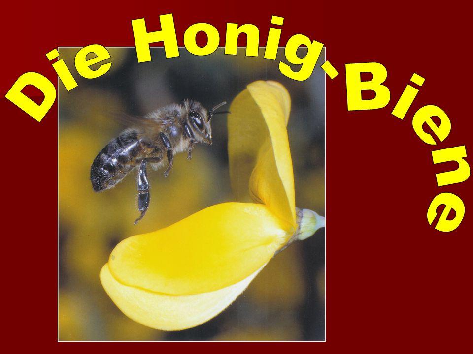 Die Honigbiene lebt in einer Gemeinschaft mit vielen tausenden Geschwistern.