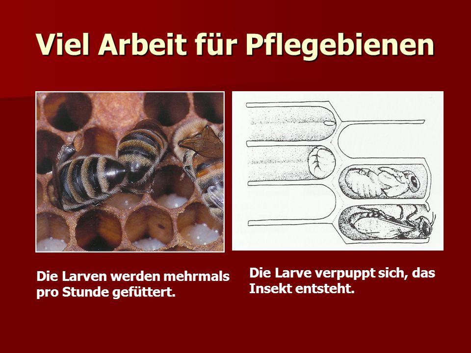 Viel Arbeit für Pflegebienen Die Larven werden mehrmals pro Stunde gefüttert. Die Larve verpuppt sich, das Insekt entsteht.