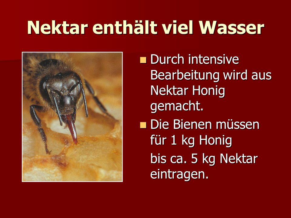 Nektar enthält viel Wasser Durch intensive Bearbeitung wird aus Nektar Honig gemacht. Durch intensive Bearbeitung wird aus Nektar Honig gemacht. Die B