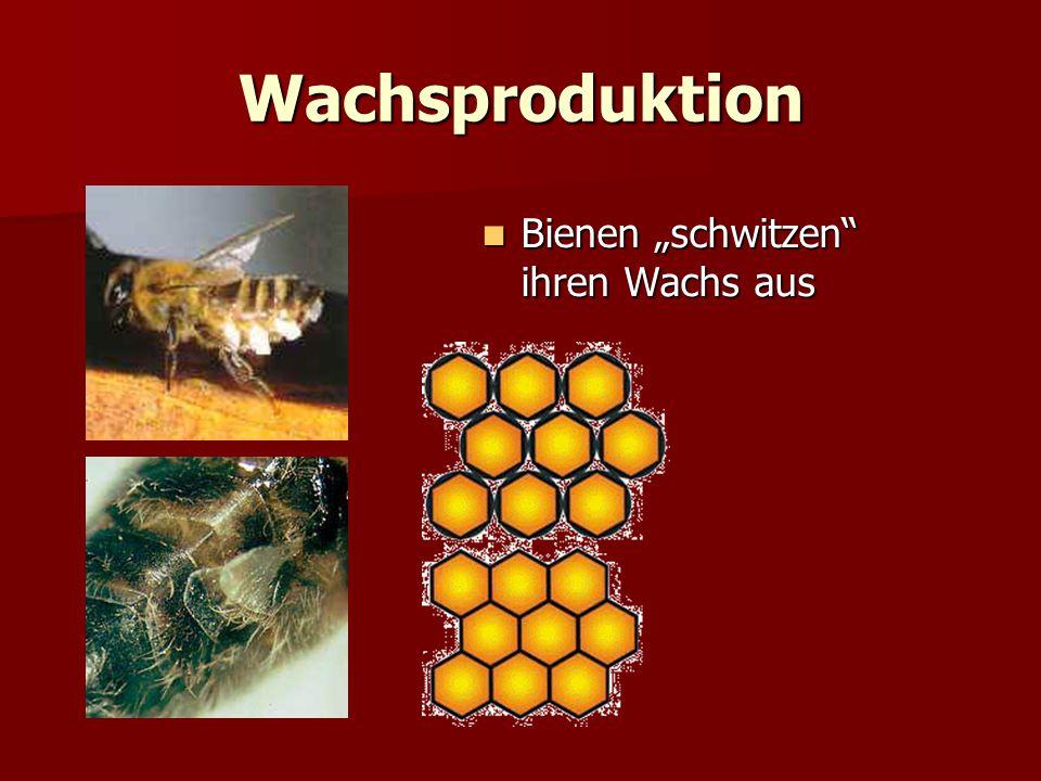 """Wachsproduktion Bienen """"schwitzen"""" ihren Wachs aus Bienen """"schwitzen"""" ihren Wachs aus"""