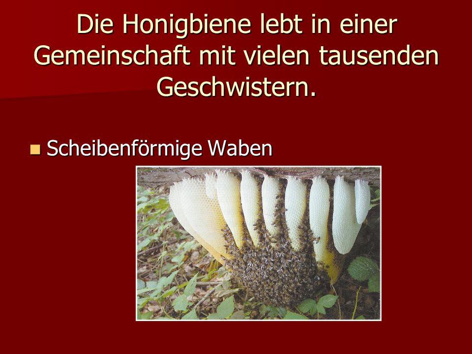 Die Honigbiene lebt in einer Gemeinschaft mit vielen tausenden Geschwistern. Scheibenförmige Waben Scheibenförmige Waben