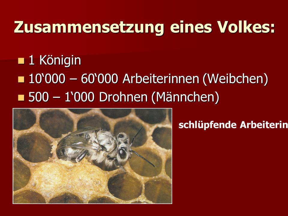 Die drei Bienenwesen KöniginDrohneArbeiterin bis 4 Jahre max.