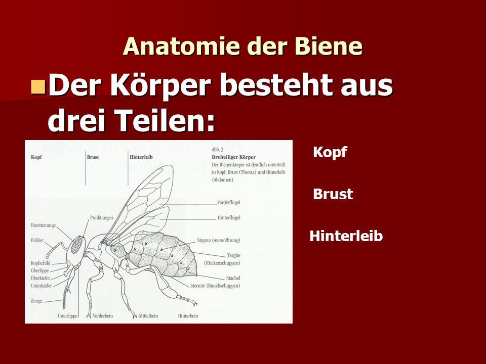 Anatomie der Biene Der Körper besteht aus drei Teilen: Der Körper besteht aus drei Teilen: Kopf Brust Hinterleib