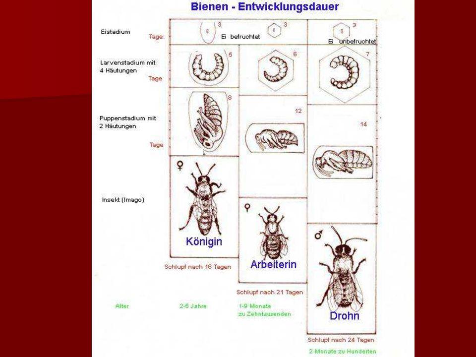 Viel Arbeit für Pflegebienen Die Larven werden mehrmals pro Stunde gefüttert.
