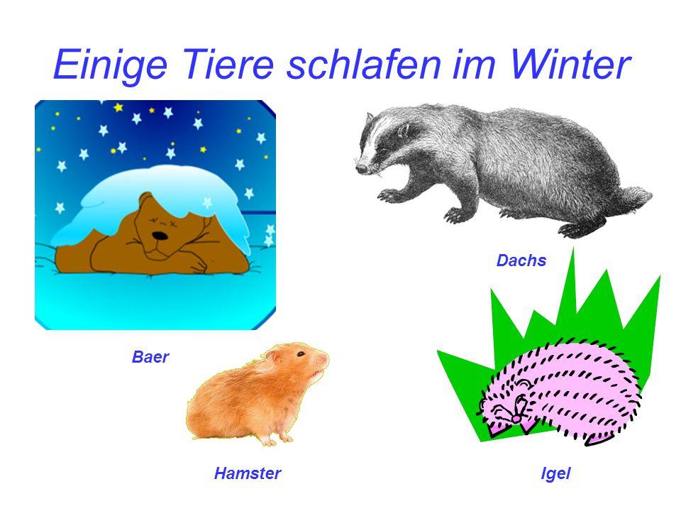 Einige Tiere schlafen im Winter HamsterIgel Baer Dachs