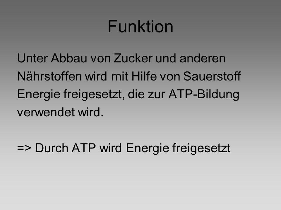 Funktion Unter Abbau von Zucker und anderen Nährstoffen wird mit Hilfe von Sauerstoff Energie freigesetzt, die zur ATP-Bildung verwendet wird. => Durc