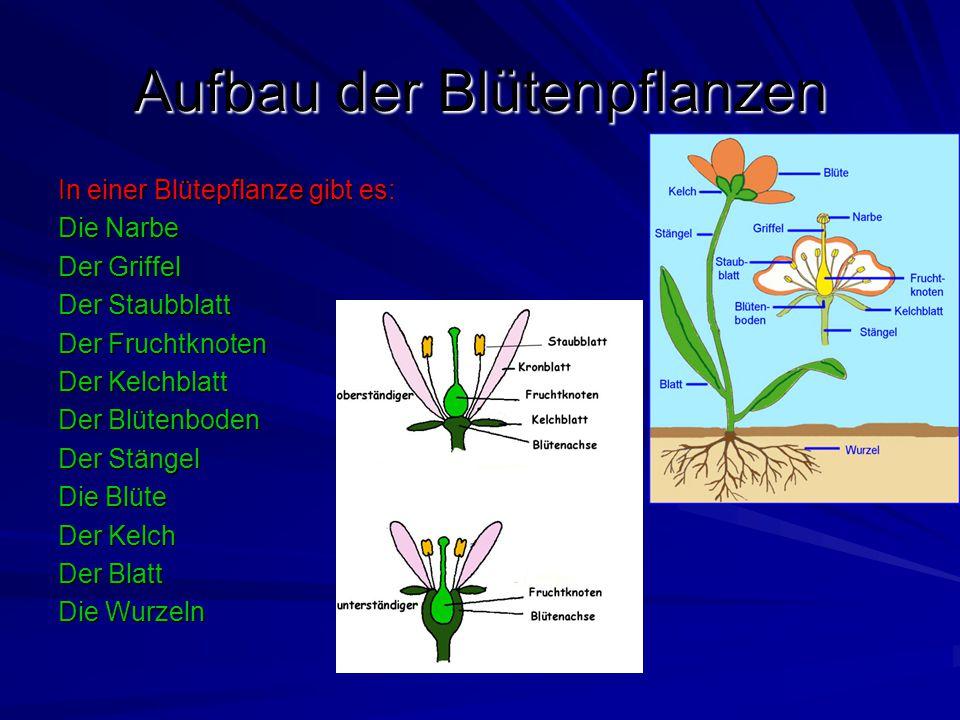 Aufbau der Blütenpflanzen In einer Blütepflanze gibt es: Die Narbe Der Griffel Der Staubblatt Der Fruchtknoten Der Kelchblatt Der Blütenboden Der Stän
