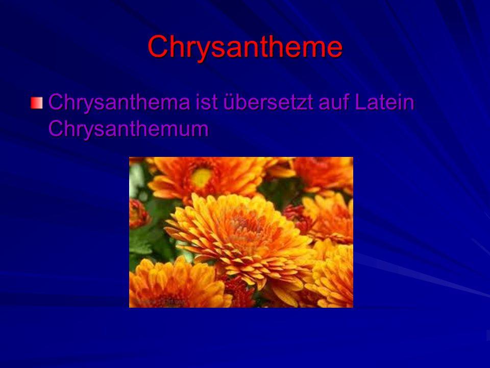 Chrysantheme Chrysanthema ist übersetzt auf Latein Chrysanthemum