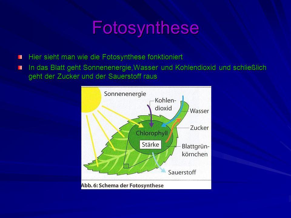 Fotosynthese Hier sieht man wie die Fotosynthese fonktioniert In das Blatt geht Sonnenenergie,Wasser und Kohlendioxid und schließlich geht der Zucker