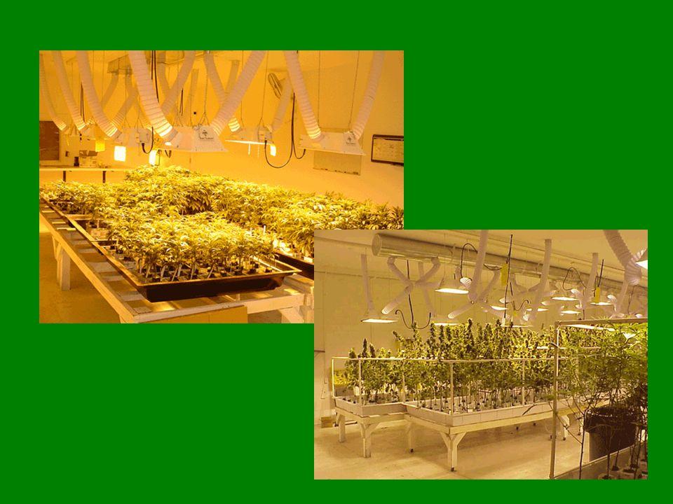 Cannabisplantage Es gibt 3 verschiedene Cannabisarten: -Cannabis Sativa -Cannabis Indica -Cannabis Ruderalis