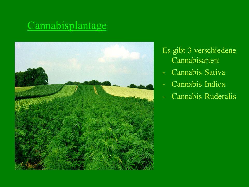 d) Qualität Vorhandensein von Fälschungen: Häufige Streckung von Cannabis mit: -Henna (wird auch benutzt um Haare zu färben) -Sand -Fett -Giftigen Substanzen (Pentachlorphenol, Altöl, Schuhcreme)