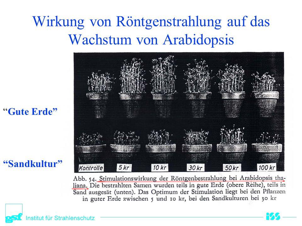 """Wirkung von Röntgenstrahlung auf das Wachstum von Arabidopsis """"Gute Erde"""" """"Sandkultur"""""""