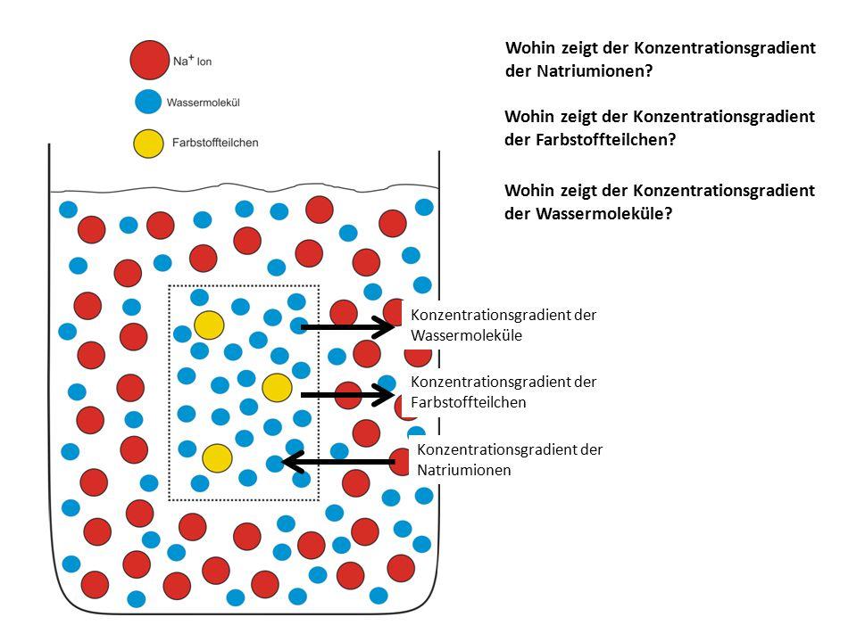 Wohin zeigt der Konzentrationsgradient der Natriumionen? Wohin zeigt der Konzentrationsgradient der Wassermoleküle? Wohin zeigt der Konzentrationsgrad