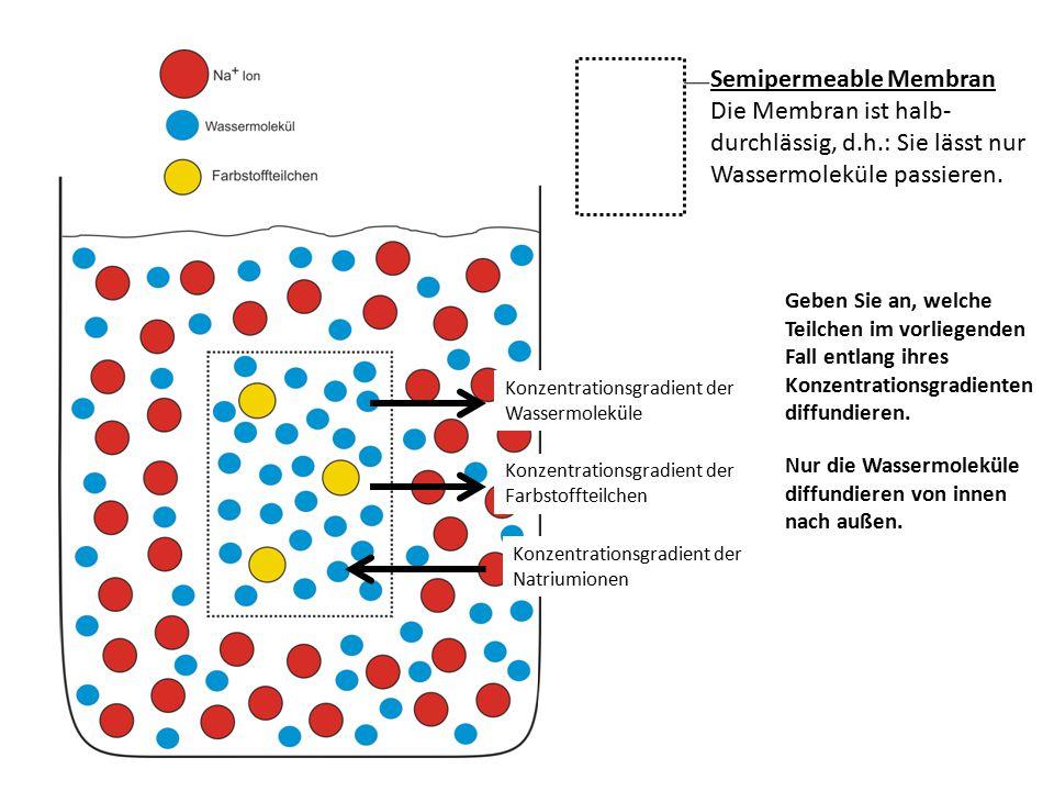 Konzentrationsgradient der Natriumionen Konzentrationsgradient der Farbstoffteilchen Konzentrationsgradient der Wassermoleküle Semipermeable Membran Die Membran ist halb- durchlässig, d.h.: Sie lässt nur Wassermoleküle passieren.