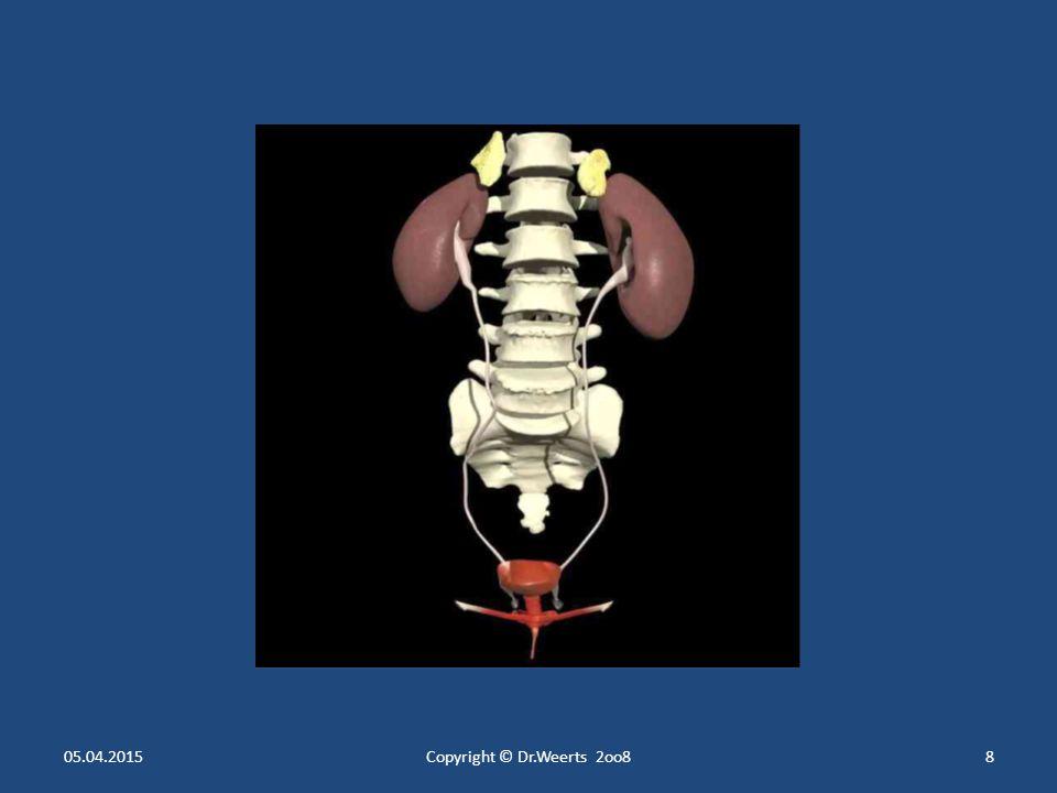 Die Nieren Makroskopische Anatomie der Nieren Makroskopische Anatomie der Nieren Liegen links und rechts der Wirbelsäule Liegen links und rechts der Wirbelsäule Unter dem Zwerchfell Unter dem Zwerchfell Rot- braun Rot- braun 11 cm lang 11 cm lang 6 cm breit 6 cm breit 2.5 cm dick 2.5 cm dick 150 g schwer 150 g schwer Form einer großen Bohne Form einer großen Bohne Linke Niere: zwischen 11.
