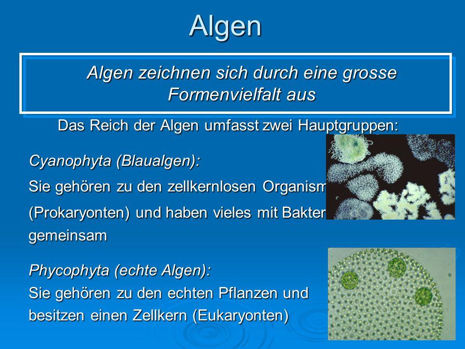 Algen Algen zeichnen sich durch eine grosse Formenvielfalt aus Das Reich der Algen umfasst zwei Hauptgruppen: Cyanophyta (Blaualgen): Sie gehören zu d