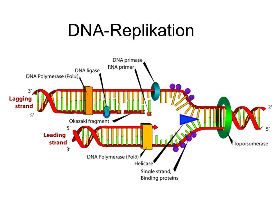 DNA-Replikation