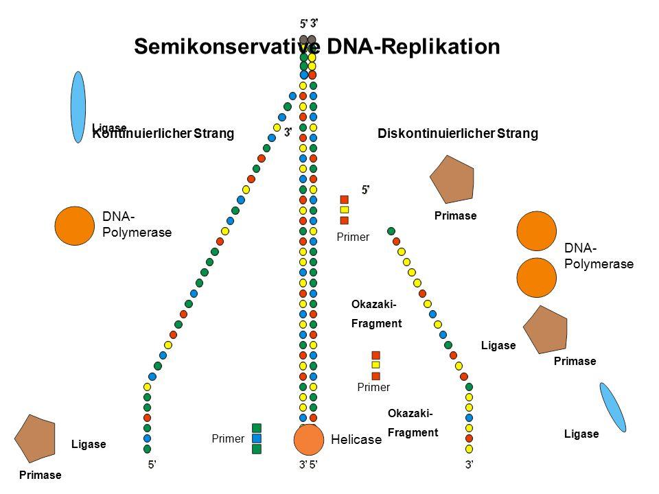 Diskontinuierlicher StrangKontinuierlicher Strang Primer DNA- Polymerase Primer DNA- Polymerase Okazaki- Fragment Okazaki- Fragment Ligase Semikonserv