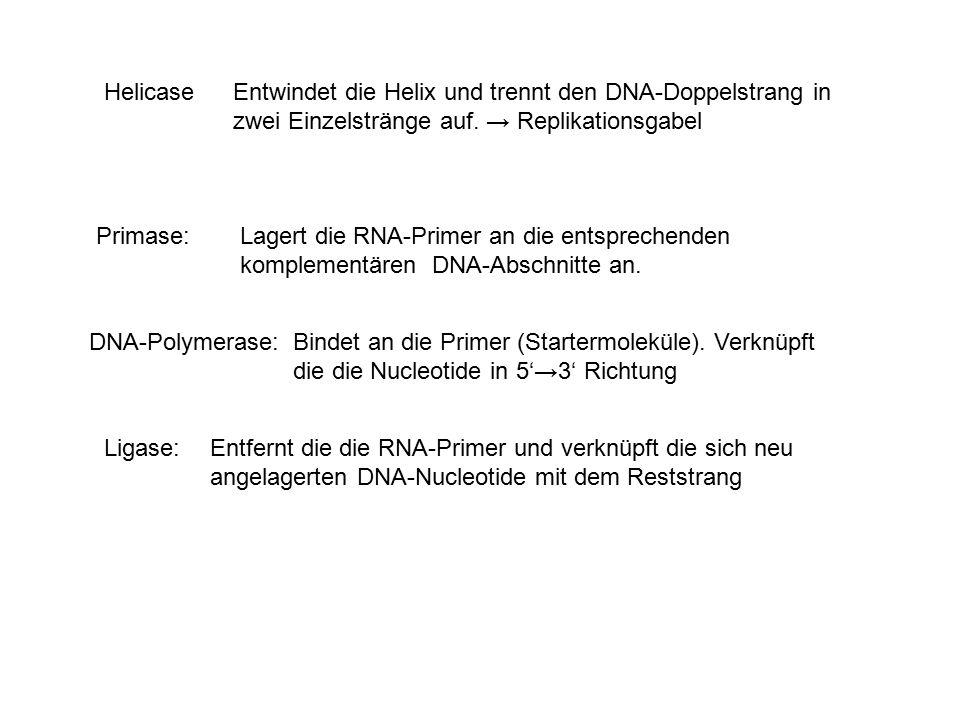 HelicaseEntwindet die Helix und trennt den DNA-Doppelstrang in zwei Einzelstränge auf. → Replikationsgabel DNA-Polymerase:Bindet an die Primer (Starte