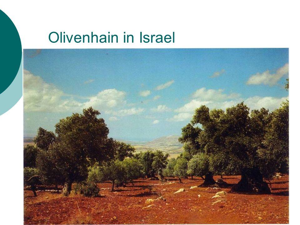 Olivenhain in Israel