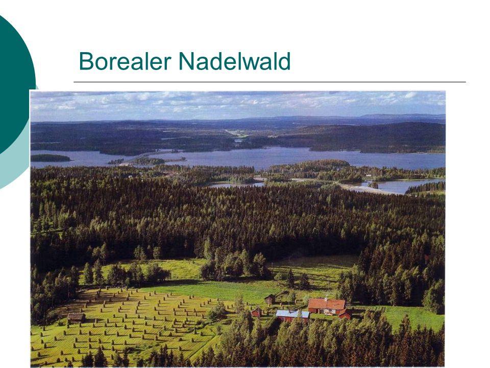 Borealer Nadelwald