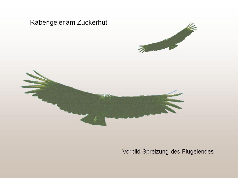 Rabengeier am Zuckerhut Vorbild Spreizung des Flügelendes