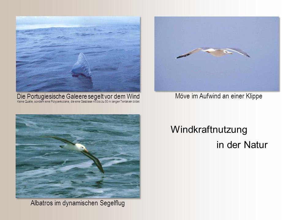 Möve im Aufwind an einer Klippe Albatros im dynamischen Segelflug Die Portugiesische Galeere segelt vor dem Wind Windkraftnutzung in der Natur Keine Q