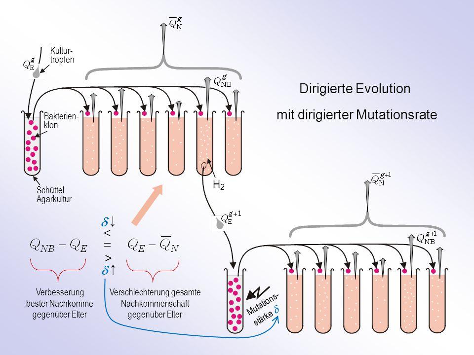 Kultur- tropfen Bakterien- klon Schüttel Agarkultur H2H2 Dirigierte Evolution mit dirigierter Mutationsrate Mutations- stärke  Verbesserung bester Nachkomme gegenüber Elter Verschlechterung gesamte Nachkommenschaft gegenüber Elter > <  ↓  ↑